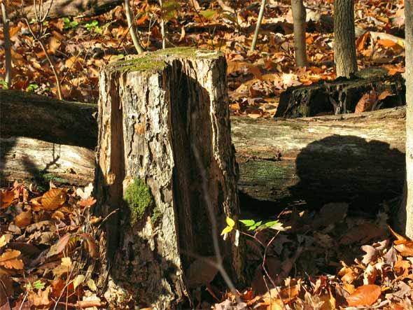 Baumstumpf im Herbst - Ontario, Kanada