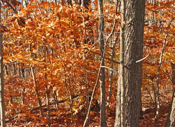 Buchenwald im Herbst - Ontario, Kanada