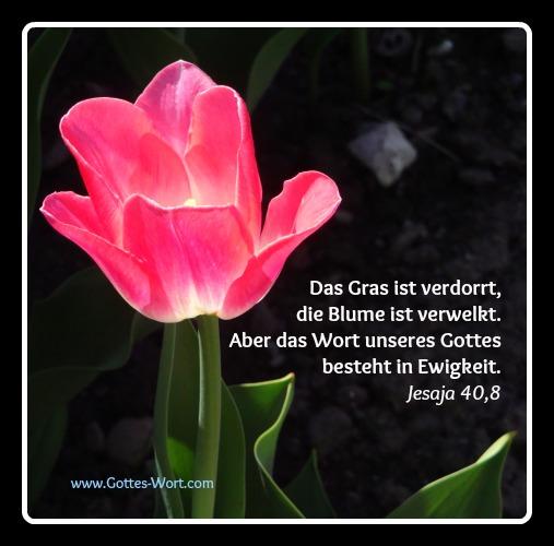tulpe Jesaja 40,8