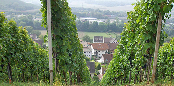 Reben - Erlenbach, Baden-Württemberg