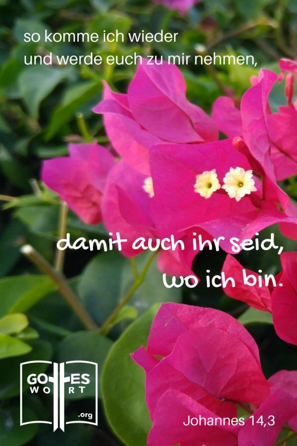 Wenn ich einen Platz für euch vorbereitet habe, werde ich wieder kommen und euch zu mir holen, damit auch ihr dort seid, wo ich bin. Johannes 14,3 Kuba, rosa Blumen